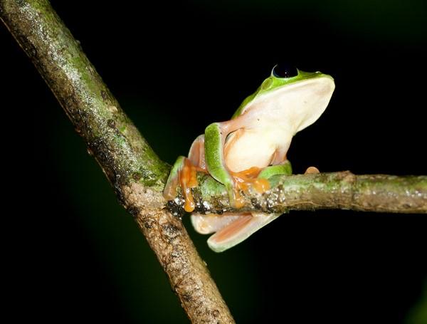 Rana de Morelet o Agalychnis moreletii - Medioambiente y Naturaleza