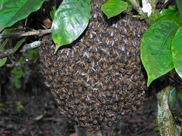 Abejas africanas o abejas asesinas b