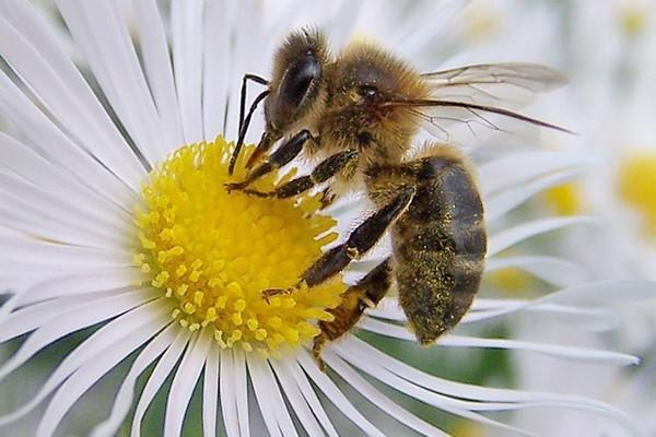 Abejas africanas o abejas asesinas
