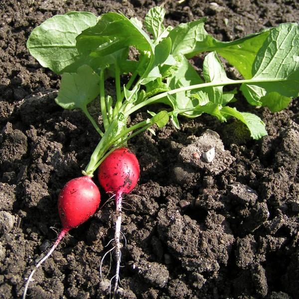 Cómo plantar rábanos. Ficha completa e