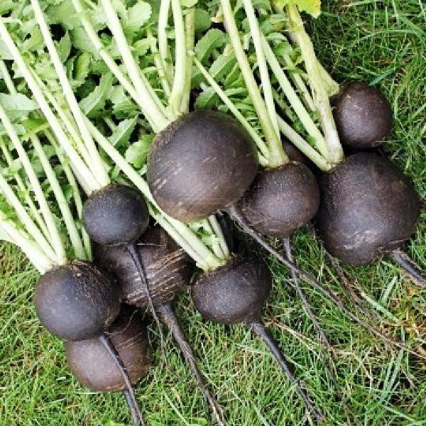 Cómo plantar rábanos. Ficha completa g