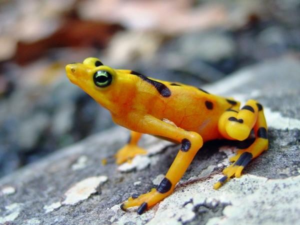 Rana dorada de Panamá o Atelopus zeteki b