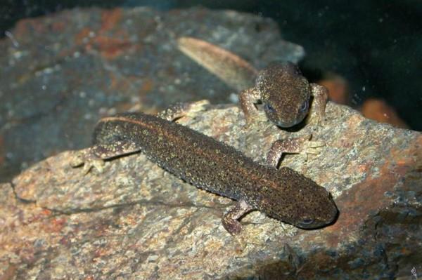 Tritón del Montseny o Calotriton arnoldi