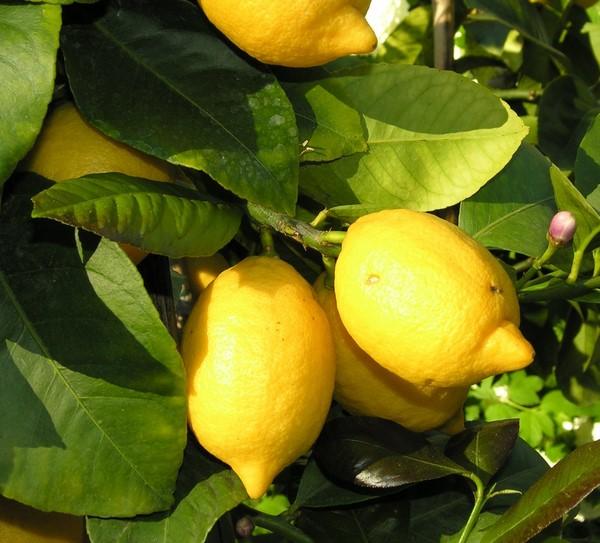 Cómo plantar limones. Ficha completa e