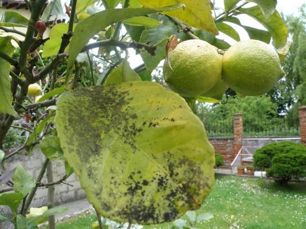 Cómo plantar limones. Ficha completa l