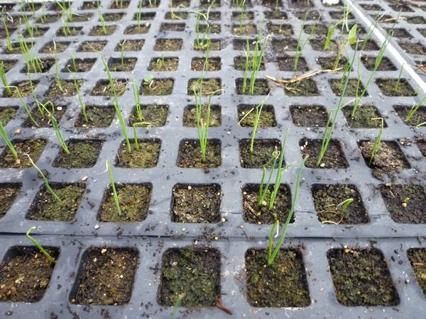 Cómo plantar puerros. Ficha completa g