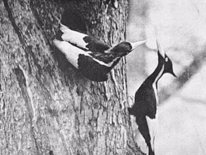 Pájaro carpintero de pico de marfil